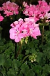 Geranium - Hot Pink Cutting Grown